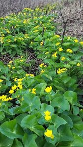 Marsh Marigold on the Elora Cataract Trailway
